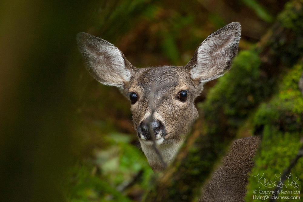 A black-tailed deer also known as a mule deer (Odocoileus hemionus) searches for food in this coastal forest on a bluff on the Washington side of the Columbia River.