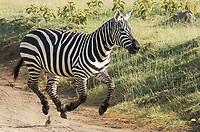 A Grant's Zebra, Equus quagga boehmi, runs across a dirt road in Lake Nakuru National Park, Kenya