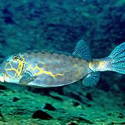 Yellow Boxfish inhabit reefs. Pictue taken Andaman Sea.