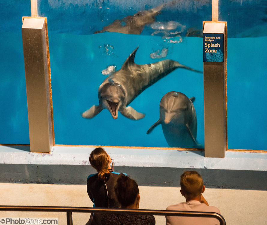 The Atlantic Bottlenose Dolphin (Tursiops truncatus) is also known as the Common Bottlenose Dolphin. Indianapolis Zoo, Indianapolis, Indiana, USA.