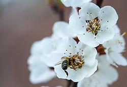 THEMENBILD - die Blüten eines blühenden Marillenbaumes am 18. April 2018, Kaprun, Österreich // the flowers of a flowering apricot tree on 2018/04/18, Kaprun, Austria. EXPA Pictures © 2018, PhotoCredit: EXPA/ Stefanie Oberhauser