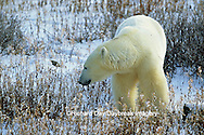 01874-07617 Polar Bear (Ursus maritimus) walking through Willows  Churchill  MB