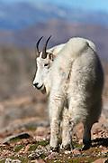 Mountain goat in Colorado