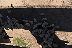 October 14, 2017 - Vinuesa, Soria, Spain - A flock of sheep pictured resting in shadow in the village of Vinuesa, north of Spain, where high temperatures reached up 27º degrees during the afternoon hours. (Credit Image: © Jorge Sanz/Pacific Press via ZUMA Wire)