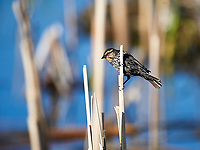 Female Red-winged Blackbird (Agelaius phoeniceus) perched cattails, Annapolis Royal Marsh, French Basin trail, Annapolis Royal, Nova Scotia, Canada,