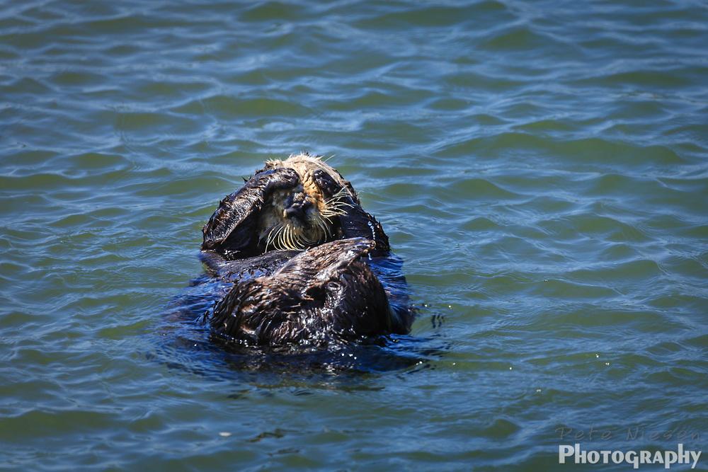 Sea otter, Enhydra lutris, grooming while floating in ocean