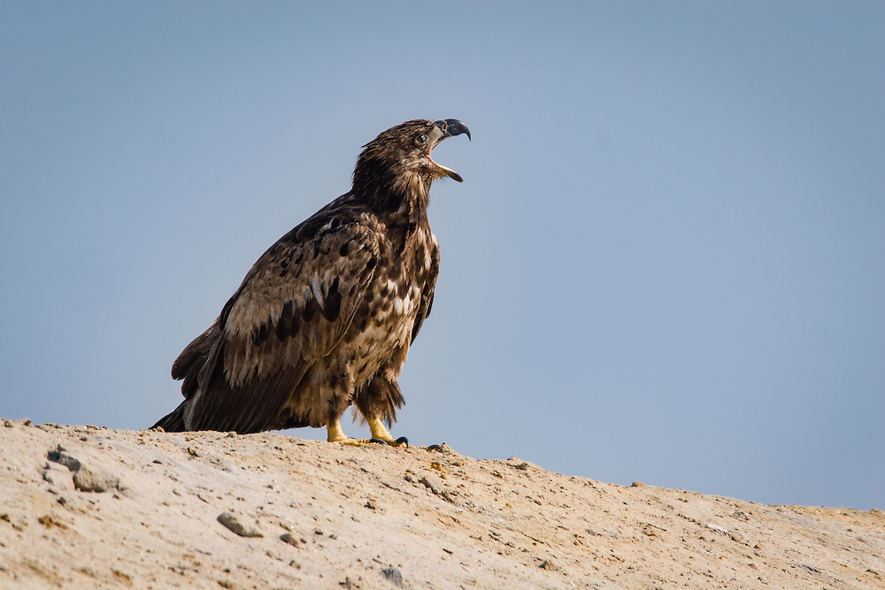 A juvenile bald eagle surveys his options from atop a mound at Hickory Hill Sanitary Landfill, near Ridgeland, S.C.