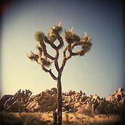 Joshua Tree National Park in California. Shot on film with a Holga camera.