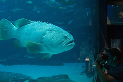 Man at the Atlanta aquarium taking pictures of a large fish