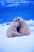 best-wildlife-prints-and-photo-decor-by-world-travel-photographer-randy-wells-videographer-filmmaker-cinematographer-storyteller-writer-location-and-studio-specialist, Image of three polar bears (Ursus maritimus) playing in a snow field near Churchill in Manitoba, Canada