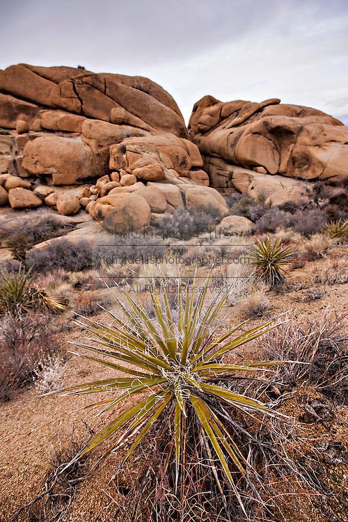 Mojave yucca in Joshua Tree National Park, California.