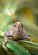 A macro shot of a large grasshopper smiling and showing his teeth for the camera.