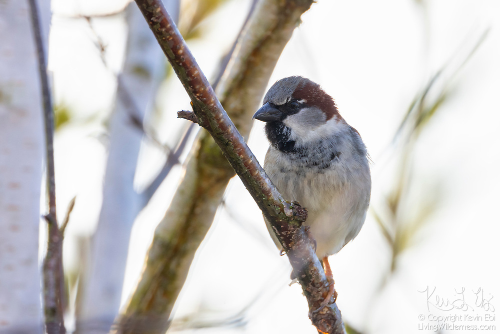 A male house sparrow (Passer domesticus) that has mostly transitioned to its breeding plumage looks out from its perch in a tree in Kirkland, Washington.