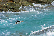 Atlantic puffin (Fratercula arctica) in flight on the north Atlantic ocean. It is the official bird of Newfoundland and Labrador since 1992., Elliston, Newfoundland & Labrador, Canada