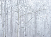 Trembling aspen trees in fog<br />