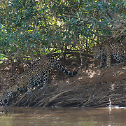 Mother jaguar and her older cub take a drink from the river. Pantanal, Brazil.