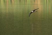 Hobby (falco subbuteo) in flight above a lake. Surrey, UK.