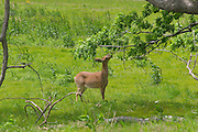 deer in meadow grass eating leaves