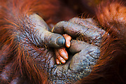 A touching moment as an infant orangutan lays his small hand ( Pongo pygmaeus ) in the big hand of its mother, Borneo, Indonesia