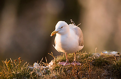 A Herring Gull at the RSPB nature reserve at Bempton Cliffs in Yorkshire, as over 250,000 seabirds flock to the chalk cliffs to find a mate and raise their young.