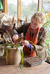 Carol Klein taking leaf cuttings from Eucomis 'Sparling Burgundy'. Removing a leaf