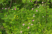 Wild rose (Rosa sp) and Buttercup (Ranunculus sp.) blossoms along with dandelions seed heads on Blinfdold Lake Road<br />Near Kenora<br />Ontario<br />Canada