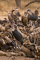 African White-backed Vultures and Maribou Storks, Hoedspruit Endangered Species Centre, near Kruger National Park, South Africa