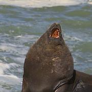 South America, Uruguay, Rocha, Cabo Palonio, South American Sea Lion, Otario flavescens, byronia, adult male, bull