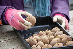 Placing chitted potatoes into a tray in early spring