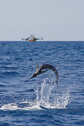 Jumping White Marlin with shrimp boat in the background.