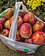 Apple orchard in Granby, Massachusetts.