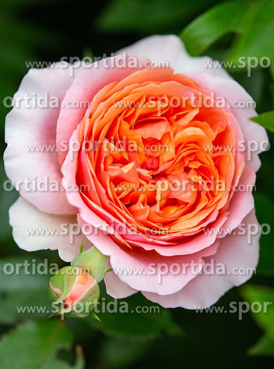 THEMENBILD - eine Rosenblüte (Abraham Darby - die englische Rose in rosa-apricot mit gefüllter Blüte und starkem Duft), aufgenommen am 09. Juni 2018, Kaprun, Österreich // a roseblossom (Abraham Darby - the english rose in pink apricot with filled blossom and strong scent) on 2018/06/09, Kaprun, Austria. EXPA Pictures © 2018, PhotoCredit: EXPA/ Stefanie Oberhauser