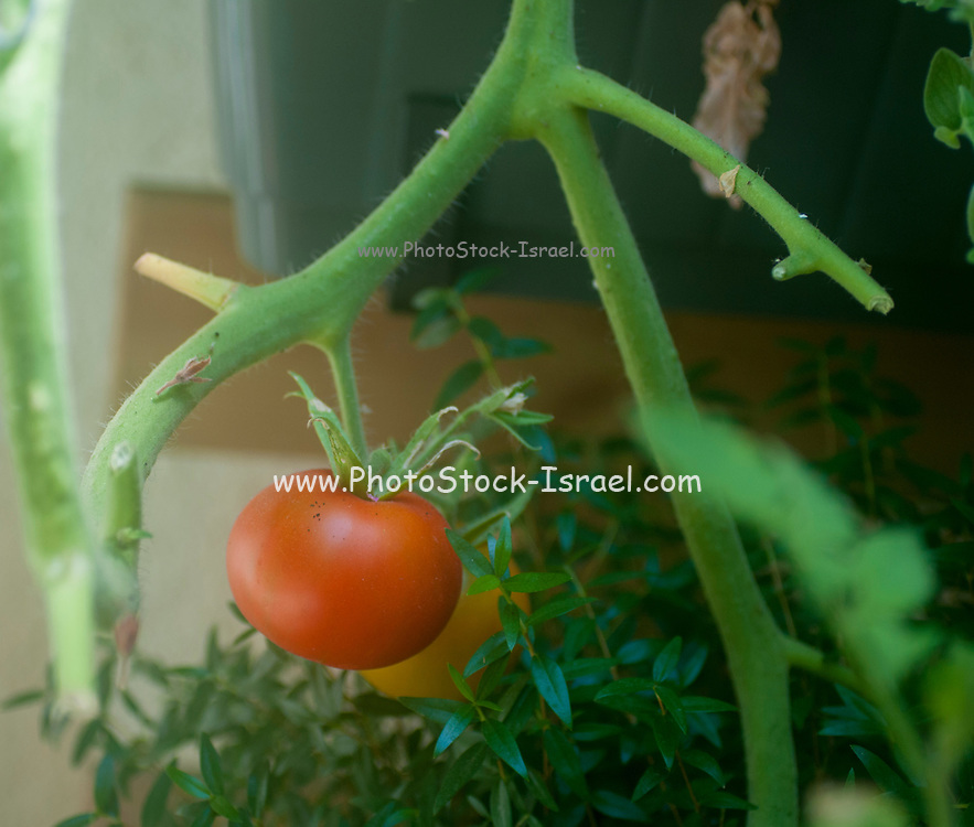 Tomato ripens on a bush in an urban community garden. Self grown vegetables are a trend with many followers who believe this method could reduce the carbon footprint. Photographed in Tel Aviv, Israel