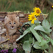 Canada Lynx, (Lynx canadensis) Montana. Young kitten in hollow log near Arrowleaf Balsamroot Flower.  Captive Animal.