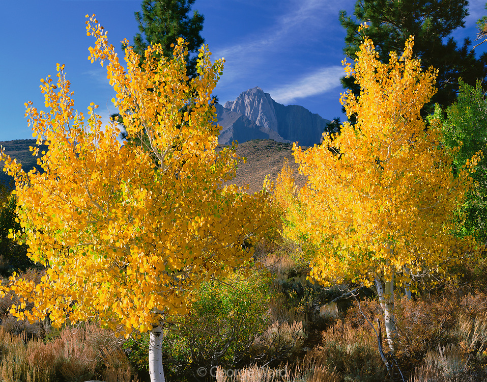 Two Aspens and Mt. Morrison, Inyo National Forest, California