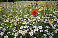 Common Summer Flowers of Arable Crops