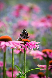 Red admiral butterfly and bumblebee on Echinacea purpurea 'Magnus' - Coneflower.