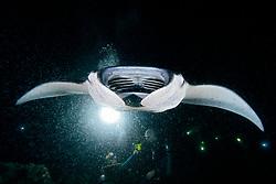Scuba divers and Manta Ray, Mobula alfredi, feeding on plankton at night, off Kona Coast, Big Island, Hawaii, Pacific Ocean
