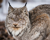 A lynx rests under a tree at park headquarters. Thanks to their sharp hearing and vision, the lynx can detect a mouse from a distance of 250 feet. Lynx can easily move across the snow thanks to large, rounded feet that act like snowshoes.<br /> -2015