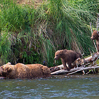 USA, Alaska, Katmai. Grizzly sow and first year cubs on river bank.
