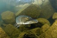 Northern Pike<br /> <br /> Viktor Vrbovsky/Engbretson Underwater Photography