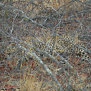 Leopard moving through the underbrush in Londolozi Gave Reserve, South Africa.