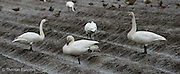 A Tundra Swan family feeds in a fallow field