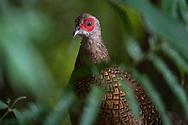 Swinhoe's pheasant, Lophura swinhoii, female. Endemic species, Dasyueshan National Recreational Forest, Taiwan