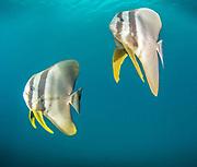 Longfin spadefish (Platax teira), Kimbe Bay, West New Britain, Papua New Guinea