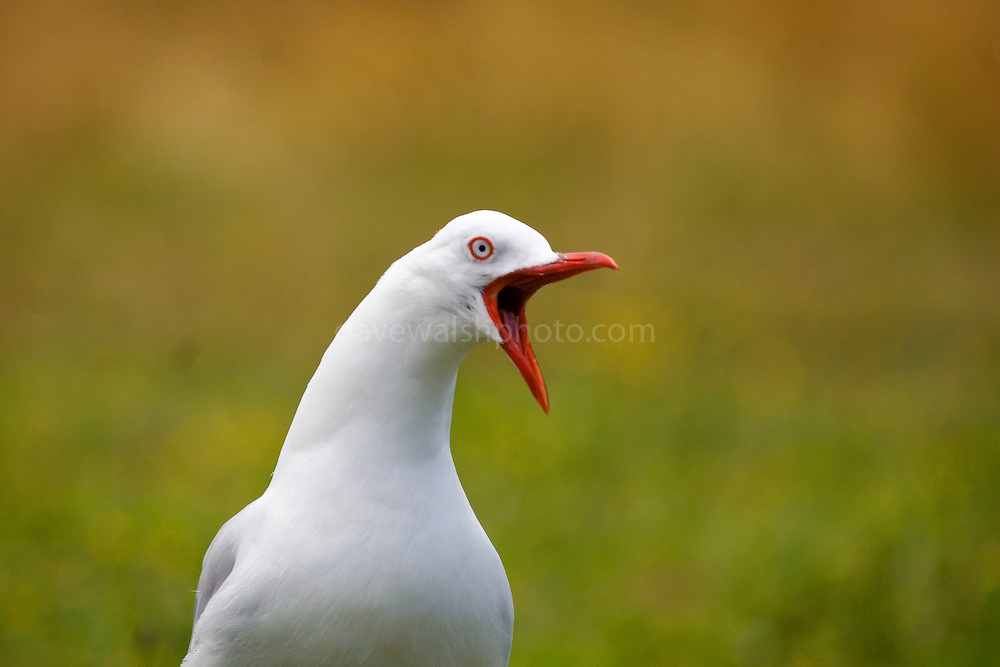 Angry red billed gull marking its territory