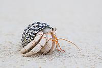 Hermit crab feeding on the beach at low tide, Vamizi Island, Mozambique
