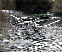 wintry weather   birds at battersea park London photo by Roger Alarcon