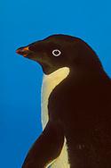 Adelie Penguin (Pygoscelis adeliae) against blue of Weddell Sea, Paulet Island, Antarctic Peninsula