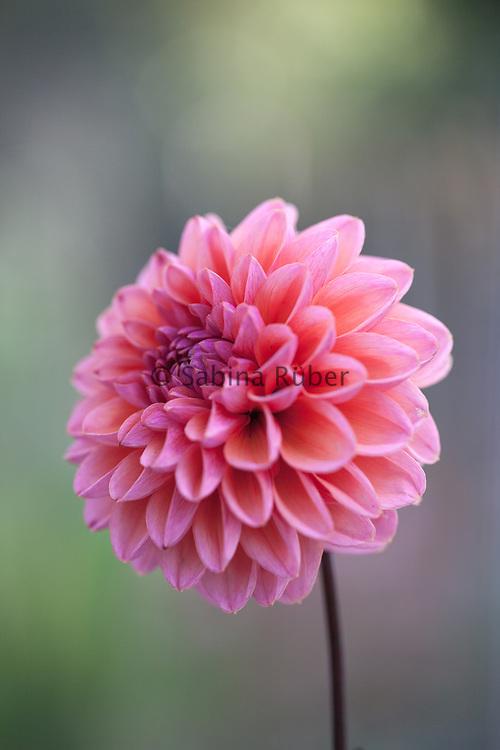 Dahlia 'Daisy Duke' - decorative dahlia